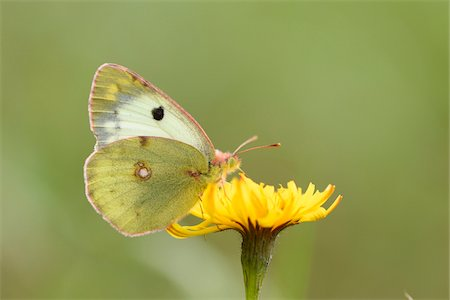 Close-up of a Berger's Clouded Yellow (Colias sareptensis) butterfly in autumn, Upper Palatinate, Bavaria, Germany Stock Photo - Premium Royalty-Free, Code: 600-07803211