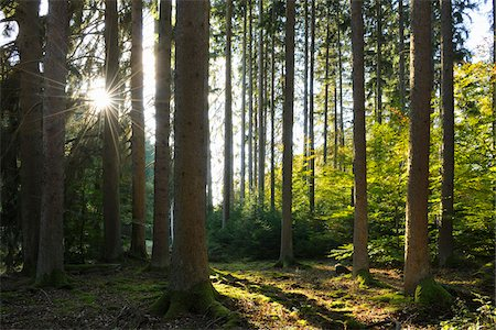 Coniferous Forest with Sun in Autumn, Eppenbrunn, Pfaelzerwald, Rhineland-Palatinate, Germany Stock Photo - Premium Royalty-Free, Code: 600-07844439