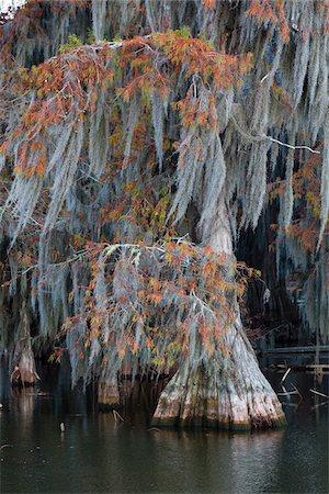 Swamp Cypress Trees (Taxodium distichum) in Autumn Colors on Lake Martin, Louisiana, USA Stock Photo - Premium Royalty-Free, Code: 600-07844456
