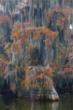 Swamp Cypress Trees (Taxodium distichum) in Autumn Colors on Lake Martin, Louisiana, USA Stock Photo - Premium Royalty-Free, Code: 600-07844450