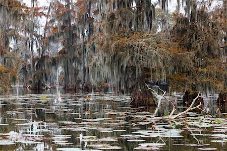 Swamp Cypress Trees (Taxodium distichum) in Autumn Colors on Lake Martin, Louisiana, USA Stock Photo - Premium Royalty-Free, Code: 600-07844453