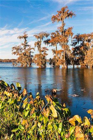 Swamp Cypress Trees (Taxodium distichum) in Autumn Colors on Lake Martin, Louisiana, USA Stock Photo - Premium Royalty-Free, Code: 600-07844462