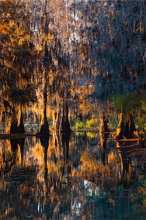 Swamp Cypress Trees (Taxodium distichum) in Autumn Colors at Sunset, Lake Martin, Louisiana, USA Stock Photo - Premium Royalty-Free, Code: 600-07844475