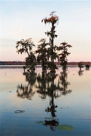 Swamp Cypress Trees (Taxodium distichum) in Autumn at Dawn, Lake Martin, Louisiana, USA Stock Photo - Premium Royalty-Free, Code: 600-07844479