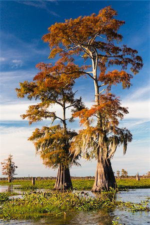 Swamp Cypress Trees (Taxodium distichum) in Autum Colors, Atchafalaya Basin, Louisiana, USA Stock Photo - Premium Royalty-Free, Code: 600-07844473