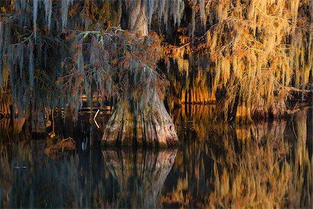 Swamp Cypress Trees (Taxodium distichum) in Autumn at Sunrise, Lake Martin, Louisiana, USA Stock Photo - Premium Royalty-Free, Code: 600-07844480