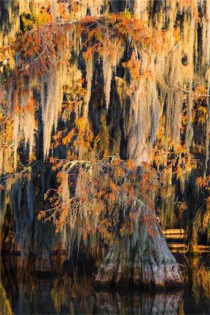 Swamp Cypress Trees (Taxodium distichum) in Autumn at Sunrise, Lake Martin, Louisiana, USA Stock Photo - Premium Royalty-Free, Code: 600-07844481
