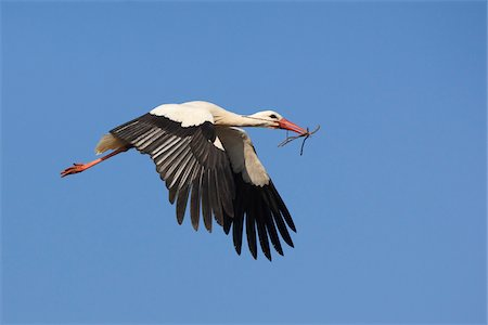 White Stork (Ciconia ciconia) in Flight, Germany Stock Photo - Premium Royalty-Free, Code: 600-07844620