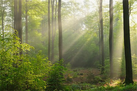 forest - Sunbeams in Beech Forest, Spessart, Bavaria, Germany, Europe Stock Photo - Premium Royalty-Free, Code: 600-07848044