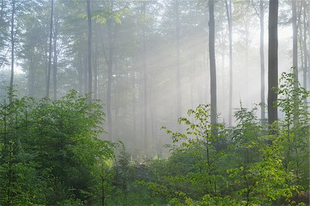 streaming - Sunbeams in Beech Forest, Fagus sylvatica, Spessart, Bavaria, Germany, Europe Stock Photo - Premium Royalty-Free, Code: 600-07848046