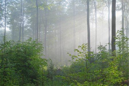 Sunbeams in Beech Forest, Fagus sylvatica, Spessart, Bavaria, Germany, Europe Stock Photo - Premium Royalty-Free, Code: 600-07848046