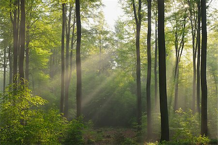 forest - Sunbeams in Beech Forest, Spessart, Bavaria, Germany, Europe Stock Photo - Premium Royalty-Free, Code: 600-07848043