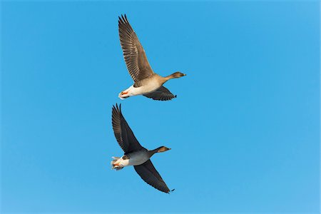 flying bird - Bean Geese (Anser fabalis), flying against blue sky, Hesse, Germany, Europe Stock Photo - Premium Royalty-Free, Code: 600-07848062