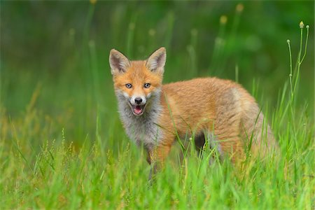 perception - Young Red Fox, Vulpes vulpes, Hesse, Germany, Europe Stock Photo - Premium Royalty-Free, Code: 600-07848072