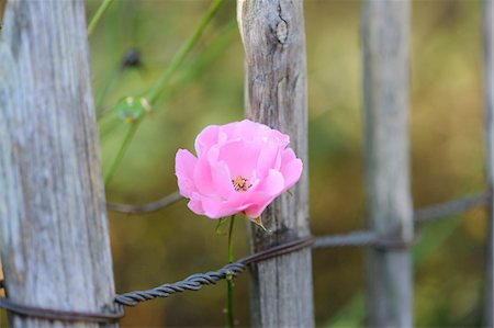 A pink rose growing around a wooden fence, Bavaria, Germany Stock Photo - Premium Royalty-Free, Code: 600-07849575