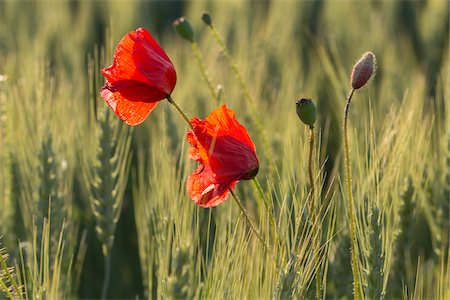 Red poppy in the Black Forest, Germany Stock Photo - Premium Royalty-Free, Code: 600-07911244
