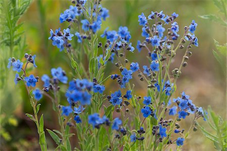Forget-me-not in the Black Forest, Germany Stock Photo - Premium Royalty-Free, Code: 600-07911243