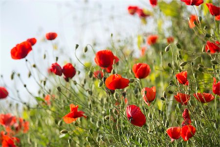 Red poppy in the Black Forest, Germany Stock Photo - Premium Royalty-Free, Code: 600-07911250