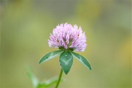 flowers - Close-up of Red Clover (Trifolium pratense) Blossom in Meadow in Autumn, Bavaria, Germany Stock Photo - Premium Royalty-Free, Code: 600-07944985