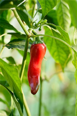 red - Peppers (Capsicum) growing in a greenhouse in a garden in autumn Stock Photo - Premium Royalty-Free, Code: 600-07944995