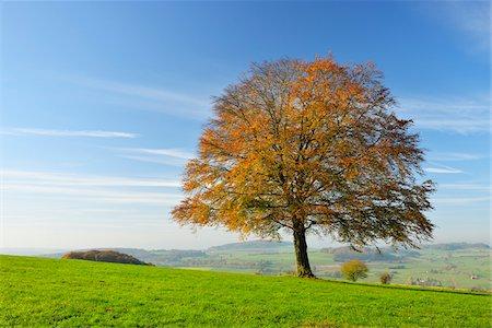 season - Oak Tree in Autumn, Vogelsbergkreis, Hesse, Germany Stock Photo - Premium Royalty-Free, Code: 600-07945052
