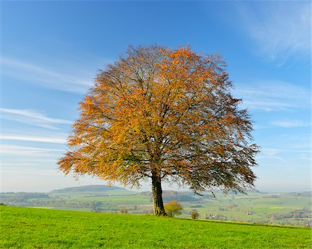Oak Tree in Autumn, Vogelsbergkreis, Hesse, Germany Stock Photo - Premium Royalty-Free, Code: 600-07945053