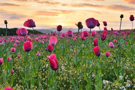 Close-up of Opium Poppy Field (Papaver somniferum) at Sunrise, Summer, Germerode, Hoher Meissner, Werra Meissner District, Hesse, Germany Stock Photo - Premium Royalty-Free, Code: 600-07945158