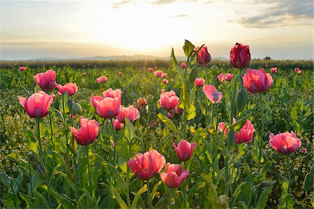 Close-up of Opium Poppy Field (Papaver somniferum) at Sunrise, Summer, Germerode, Hoher Meissner, Werra Meissner District, Hesse, Germany Stock Photo - Premium Royalty-Free, Code: 600-07945150