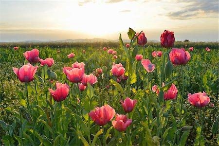 Close-up of Opium Poppy Field (Papaver somniferum) at Sunrise, Summer, Germerode, Hoher Meissner, Werra Meissner District, Hesse, Germany Stock Photo - Premium Royalty-Free, Code: 600-07945150