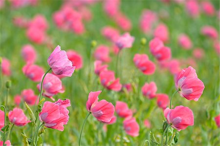 flowers - Close-up of Opium Poppy Field (Papaver somniferum) Summer, Germerode, Hoher Meissner, Werra Meissner District, Hesse, Germany Stock Photo - Premium Royalty-Free, Code: 600-07945165