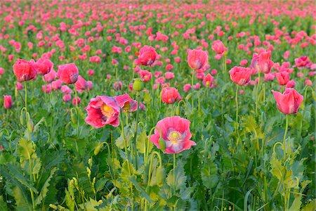 Close-up of Opium Poppy Field (Papaver somniferum) Summer, Germerode, Hoher Meissner, Werra Meissner District, Hesse, Germany Stock Photo - Premium Royalty-Free, Code: 600-07945167