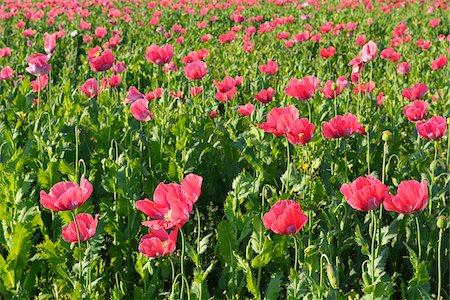 Close-up of Opium Poppy Field (Papaver somniferum) Summer, Germerode, Hoher Meissner, Werra Meissner District, Hesse, Germany Stock Photo - Premium Royalty-Free, Code: 600-07945168