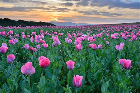 Opium Poppy Field (Papaver somniferum) at Sunrise, Summer, Germerode, Hoher Meissner, Werra Meissner District, Hesse, Germany Photographie de stock - Premium Libres de Droits, Code: 600-07945160
