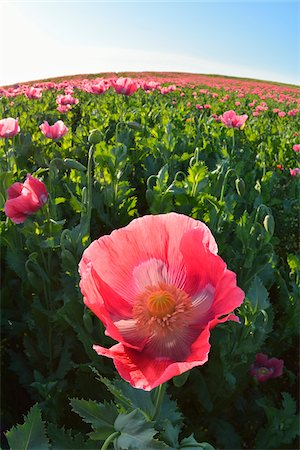 Close-up of Opium Poppy (Papaver somniferum) in field with morning sunlight, Summer, Germerode, Hoher Meissner, Werra Meissner District, Hesse, Germany Stock Photo - Premium Royalty-Free, Code: 600-07945162