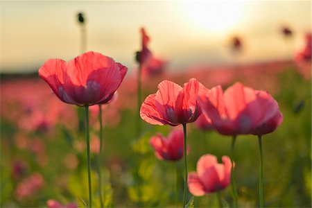Close-up of Opium Poppies (Papaver somniferum) in field at Sunrise, Summer, Germerode, Hoher Meissner, Werra Meissner District, Hesse, Germany Stock Photo - Premium Royalty-Free, Code: 600-07945163