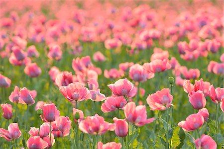 Close-up of Opium Poppy Field (Papaver somniferum) Summer, Germerode, Hoher Meissner, Werra Meissner District, Hesse, Germany Stock Photo - Premium Royalty-Free, Code: 600-07945179