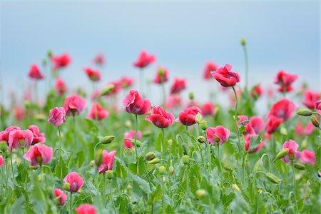 Close-up of Opium Poppy Field (Papaver somniferum) Summer, Germerode, Hoher Meissner, Werra Meissner District, Hesse, Germany Stock Photo - Premium Royalty-Free, Code: 600-07945170
