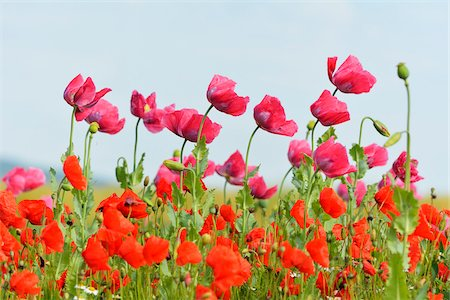 Close-up of Opium Poppies (Papaver somniferum) and Corn Poppies (Papaver rhoeas) in Field, Summer, Germerode, Hoher Meissner, Werra Meissner District, Hesse, Germany Stock Photo - Premium Royalty-Free, Code: 600-07945189