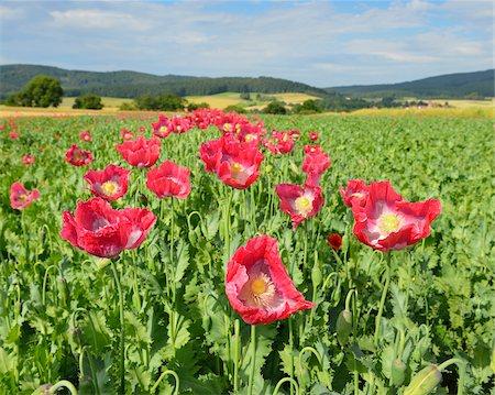 Close-up of Opium Poppies (Papaver somniferum) in Field, Summer, Germerode, Hoher Meissner, Werra Meissner District, Hesse, Germany Stock Photo - Premium Royalty-Free, Code: 600-07945181