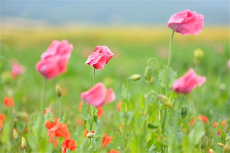 Close-up of Opium Poppies (Papaver somniferum) and Corn Poppies (Papaver rhoea) Summer, Germerode, Hoher Meissner, Werra Meissner District, Hesse, Germany Stock Photo - Premium Royalty-Free, Code: 600-07945182