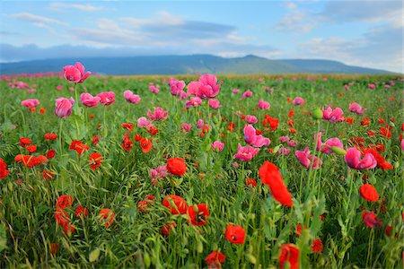 Opium Poppies (Papaver somniferum) and Corn Poppies (Papaver rhoeas) in Field, Summer, Germerode, Hoher Meissner, Werra Meissner District, Hesse, Germany Stock Photo - Premium Royalty-Free, Code: 600-07945183