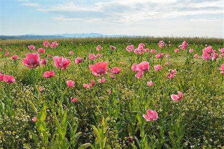 Opium Poppy Field (Papaver somniferum) and Chamomile (Matricaria chamomilla) Summer, Germerode, Hoher Meissner, Werra Meissner District, Hesse, Germany Stock Photo - Premium Royalty-Free, Code: 600-07945195