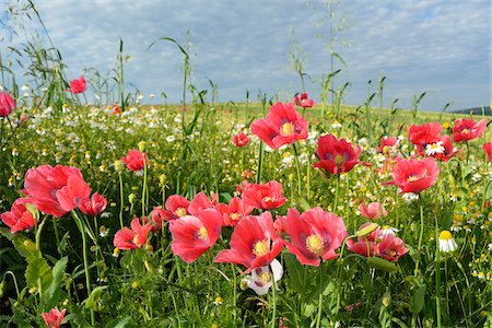 Close-up of Opium Poppies (Papaver somniferum) and Chamomile (Matricaria chamomilla) in field, Summer, Germerode, Hoher Meissner, Werra Meissner District, Hesse, Germany Stock Photo - Premium Royalty-Free, Code: 600-07945197