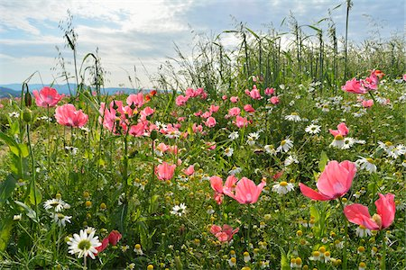 Close-up of Opium Poppies (Papaver somniferum) and Chamomile (Matricaria chamomilla) in field, Summer, Germerode, Hoher Meissner, Werra Meissner District, Hesse, Germany Stock Photo - Premium Royalty-Free, Code: 600-07945198