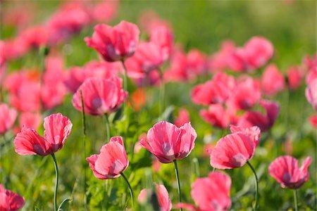 Close-up of Opium Poppies (Papaver somniferum) in field, Summer, Germerode, Hoher Meissner, Werra Meissner District, Hesse, Germany Stock Photo - Premium Royalty-Free, Code: 600-07945192