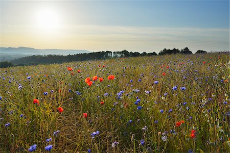 Corn Poppies (Papaver rhoeas) and Cornflowers (Centaurea cyanus) with Morning Sun, Summer, Germerode, Hoher Meissner, Werra Meissner District, Hesse, Germany Stock Photo - Premium Royalty-Free, Code: 600-07945201