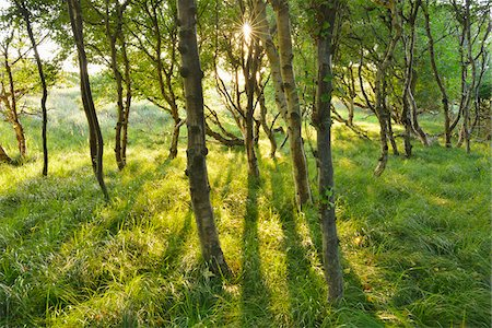 Birch Forest in the Dunes with Sun, Summer, Norderney, East Frisia Island, North Sea, Lower Saxony, Germany Stockbilder - Premium RF Lizenzfrei, Bildnummer: 600-07945361