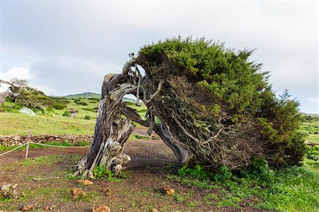 shape - Canary Islands Juniper Tree (Juniperus cedrus) with oddly Shaped Trunk, El Sabinar, El Hierro, Canary Islands, Spain Stock Photo - Premium Royalty-Free, Code: 600-07965727