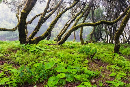 forest - Primeval Forest with Tree Heather (Erica arborea) and Hanging Moss, Meseta de Nizdafe, El Hierro, Canary Islands, Spain Stock Photo - Premium Royalty-Free, Code: 600-07965735