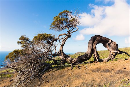 Canary Islands Juniper (Juniperus cedrus) Tree bent by Heavy Wind and Age El Sabinar, El Hierro, Canary Islands, Spain Stock Photo - Premium Royalty-Free, Code: 600-07965744